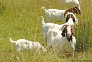 meat-goat-photo_400